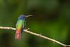 Golden-tailed Sapphire, Ecuador