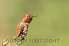 Allen's Hummingbird, Bolsa Chica California