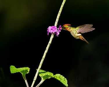 Tufted Coquette, Asa Wright Trinidad