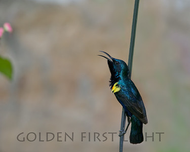 Purple Sunbird, India