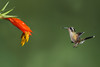 Speckled Hummingbird, Ecuador