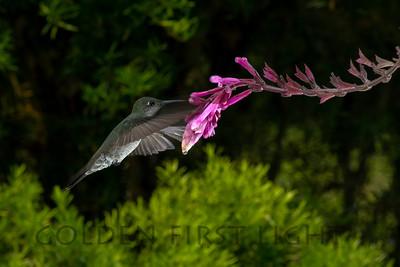 Sombre Hummingbird, Trilha dos Tucanos Brazil