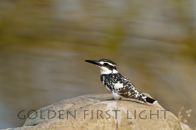 Pied Kingfisher, India