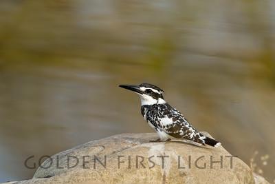 Pied Kingfisher, India