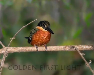 Green-and-rufous Kingfisher, Pantanal Brazil