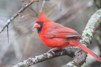 Northern Cardinals Main Gallery
