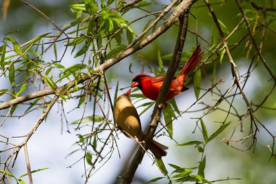 Northern Cardinals ♂♀