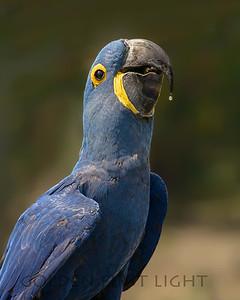 Hyacinth Macaw, Pantanal Brazil