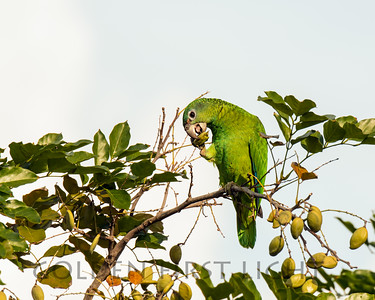 Yellow-billed Parrot, Jamaica