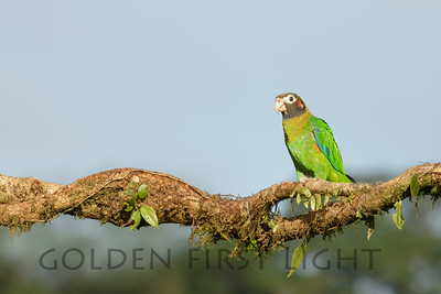 Brown-hooded Parrot, Costa Rica