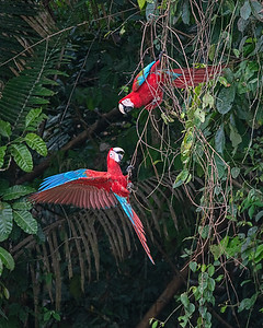 Red and Green Macaw, Tambo Blanquillo, Peru