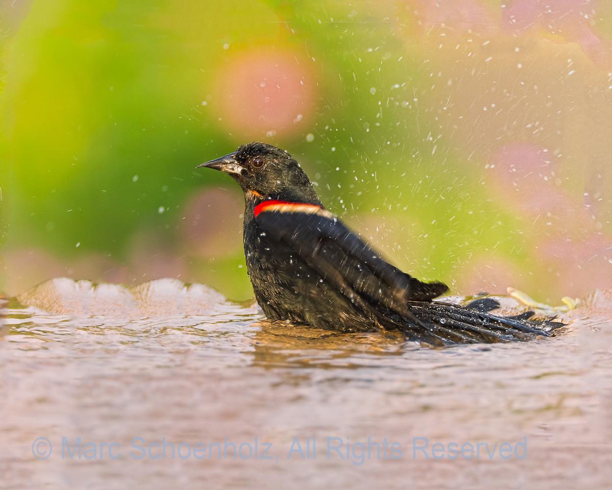 Enjoying Warm Weather and Bathing  Red-Winged Blackbird, Photographed at: Richard DeKorte Park , Lyndhurst, NJ. June, 2010  ©2010 Marc Schoenholz  Exposure and Camera Info Camera:  Canon EOS 7D Lens: 700  Shutter Speed: 1/500,  Aperture: 6.3 ISO Setting: 800