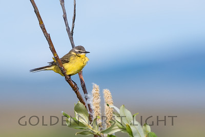 Eastern Yellow Wagtail, Nome Alaska