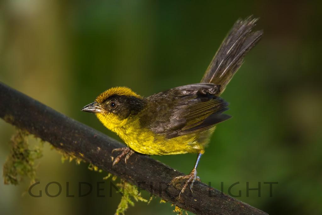 Tricolored Brushfinch, Ecuador
