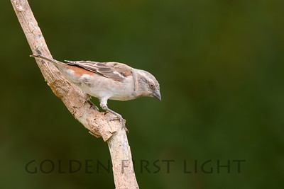 Northern Gray-headed Sparrow, Kenya