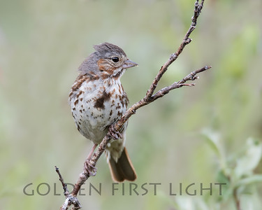 Fox Sparrow, Nome Alaska