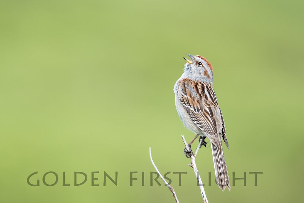 American Tree Sparrow, Nome Alaska
