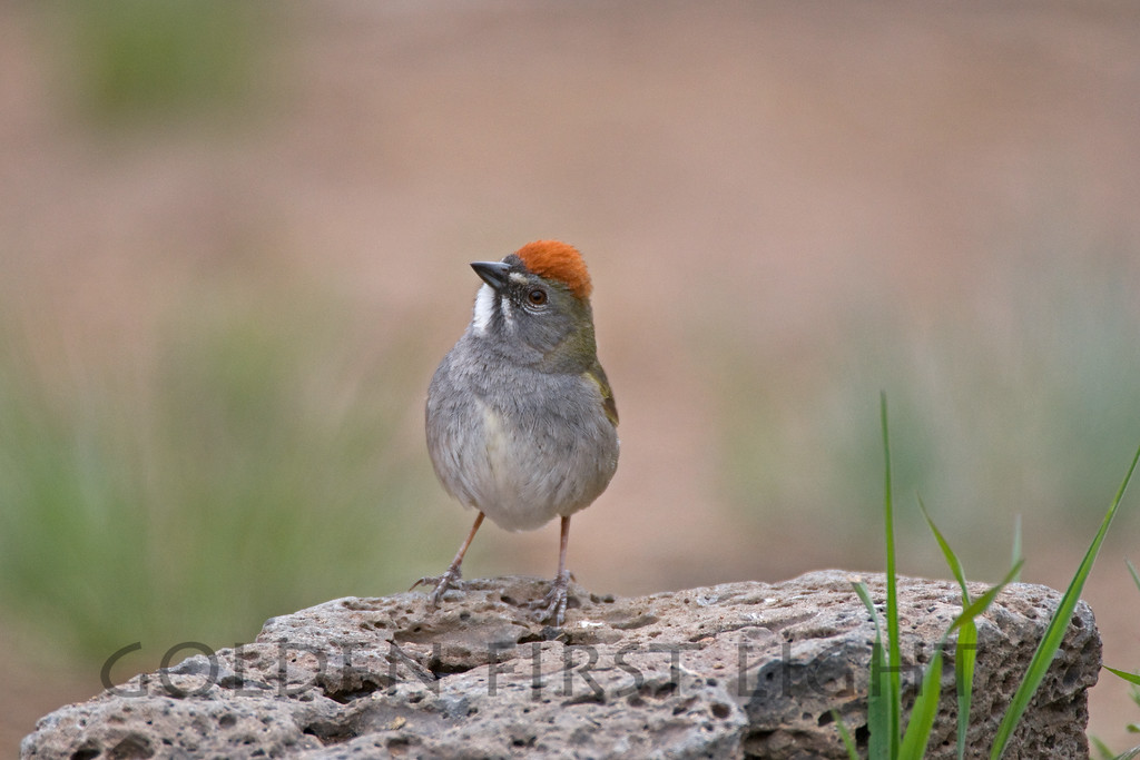 Green-tailed Towhee, central Oregon