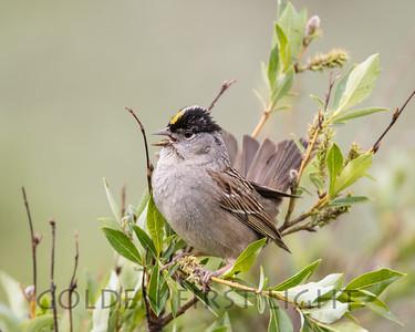 Golden-crowned Sparrow, Nome Alaska
