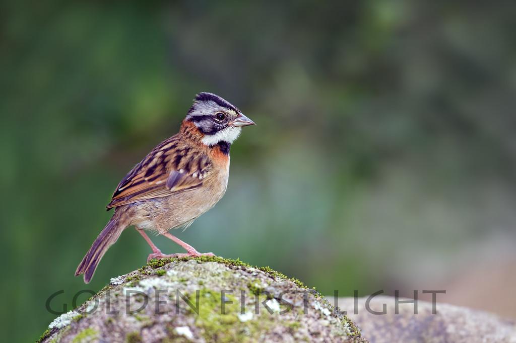 Rufous-collared Sparrow, Costa Rica