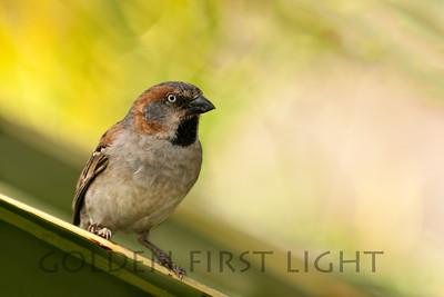 Kenya Rufous Sparrow, Kenya