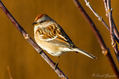 American Tree Sparrow - Nine Springs - Madison, WI - 2012