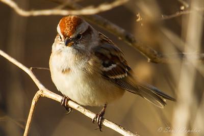American Tree Sparrow - Nine Springs - Madison, WI - 2012
