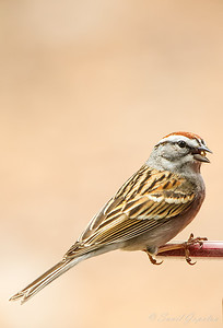 Chipping Sparrow (Breeding Plumage)
