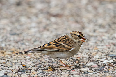 Chipping Sparrow (Non-breeding Plumage)