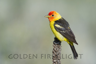 Western Tanager, central Oregon