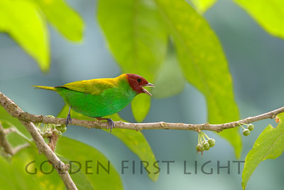 Bay-headed Tanager, Asa Wright Trinidad