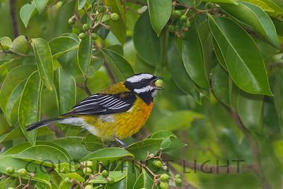 Jamaican Spindalis, Jamaica