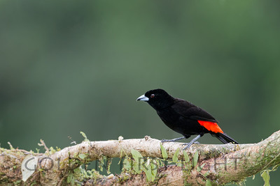Passerini's Tanager, Costa Rica