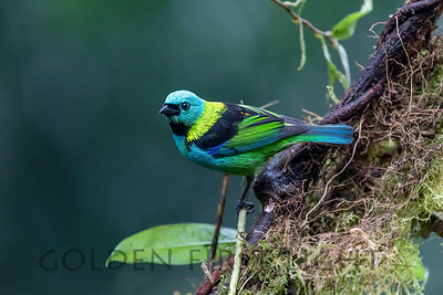 Green-headed Tanager, Trilha dos Tucanos Brazil