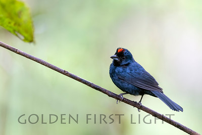 Ruby-crowned Tanager, Trilha dos Tucanos Brazil