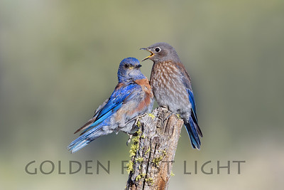 Western Bluebird, central Oregon