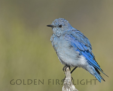 Mountain Bluebird, central Oregon