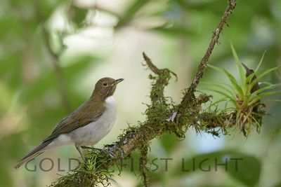 White-necked Thrush, Asa Wright Trinidad