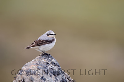 Northern Wheatear, Nome Alaska