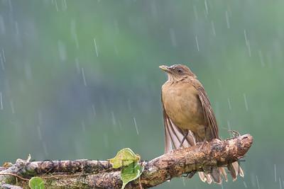 Clay-colored Thrush, Costa Rica
