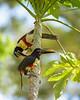 Chestnut-eared Aracari, Pantanal Brazil