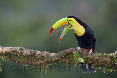 Keel-billed Toucan, Costa Rica