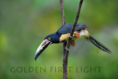 Collared Aracari, Costa Rica