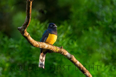 Green-backed Trogon, Peruibe Brazil