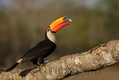 Toco Toucan, Pantana; Brazil