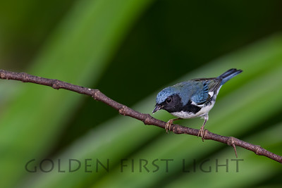 Black-throated Blue Warbler, Jamaica