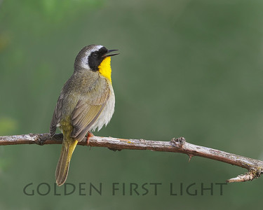 Common Yellowthroat, Ridgefield National Wildlife Refuge