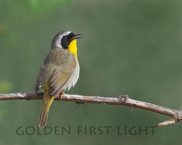 Common Yellowthroat, Ridgefield National Wildlife Refuge
