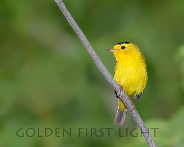 Wilson's Warbler, Gold Beach Oregon
