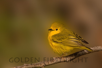 Yellow Warbler, Malheur National Wildlife Refuge